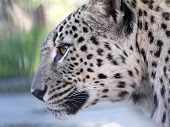 Close-up portrait of a leopard