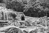 Friendly Brown Bear Walking In Zoo. Cute Big Bear Stony Landscape Nature Background. Zoo Concept. An poster