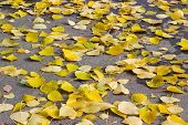Asphalt Walkway In The Park Covered With Yellow Fallen Poplar Leaves, Selective Focus, Background poster
