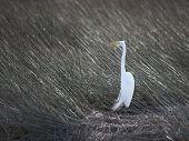 Egret in Sea Grass