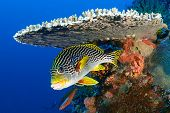 Sweetlips fish, Plectorhinchus orientalis, hiding under hard coral