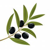 picture of olive branch  - Black olives on branch detailed vector illustration - JPG