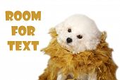 Bichon Frise Dog. A beautiful 2 year old Bichon Frise Puppy wears a gold feather boa and poses for a poster
