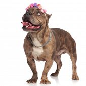 adorable american bully wearing headband and silver collar, panting and sticking out tongue, looking poster