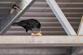 A Black Crow Eating His Scavenged Bread In The Ceiling Rafters Of A Shed poster