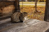 Sleepy Tabby Cat On A Wooden Floor, A Gray Cat Sits On A Terrace In The Fall. poster