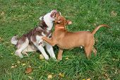 Siberian Husky Puppy And American Staffordshire Terrier Puppy Are Playing On The Autumn Meadow. Pet  poster