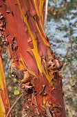 Bark On A Madrona Tree Closeup Nature Phot With Peeling Bark In Terra Cotta Copper Colors And Deep Y poster