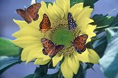 GulfFritillaryies On Sunflower