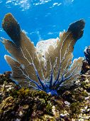 Sea Fan On Coral Reef