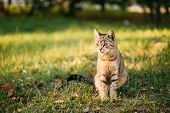 Cute Tabby Gray Cat Sitting In Grass Outdoor In Sunny Summer Evening. poster