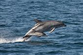 Bottlenose Dolphin with a Common Dolphin Calf