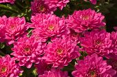 Pink Colored Chrysanthemums In A Flower Nursery