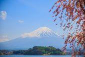 Japan Travel, Mt Diamond Fuji And Snow At Kawaguchiko Lake, Sakura Tree Side Walkway In Side Kawaguc poster