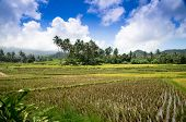 Harvest Time  Ricefield