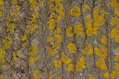 Tree Bark With Moss Close Up. Old Wood Tree Bark Texture With Yellow Moss. Soft Selective Focus. poster
