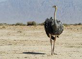Female (Struthio camelus)in the Negev desert, Hai Bar national reservation, 25 km from Eilat, Israel
