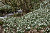 Woodland stream with Snowdrops