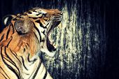 Tiger against grunge concrete wall