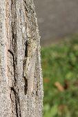 Camouflaged Locust