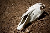foto of cow skeleton  - animal skull on the ground - JPG