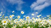 white daisies on sky