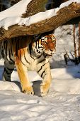 Amur Tiger On The Snow