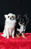 Two Pretty Little Chihuahua Dogs
