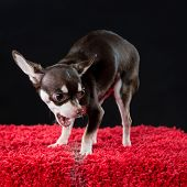 Portrait Of A Yapping Chihuahua