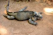 stock photo of giant lizard  - Giant iguana lying on a bed of sand - JPG
