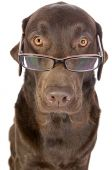 Shot Of A Handsome And Clever Labrador In Glasses