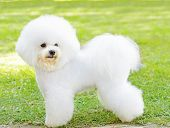 picture of bichon frise dog  - A small beautiful and adorable white fluffy bichon frise dog standing on the lawn and looking cheerful - JPG