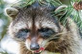 picture of raccoon  - A close - JPG