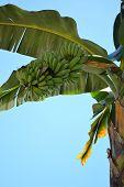 Banana Trees