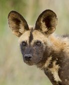 A Young Cape Hunting Dog Or Wild Dog, South Africa