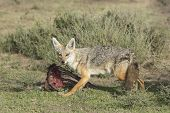 stock photo of jackal  - Golden Jackal  - JPG