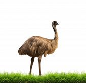 Emu With Green Grass Isolated