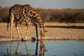 Giraffe at waterhole in Savanna of Botswana