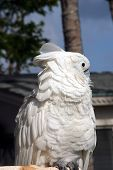Snowy Cockatoo