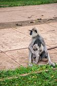 image of hanuman  - Hanuman langur with young in Anuradhapura - JPG