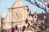 stock photo of japanese magnolia  - Magnolia tree flower with a building on background - JPG