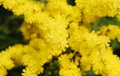 foto of mimosa  - The yellow flowers of the Mimosa also known as Acacia Dealbata Silver Wattle and Blue Wattle - an evergreen tree or shrub which produces early spring flowers
