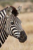 Zebra Portrait In Nature Lovely Detail Soft Light