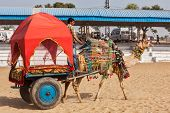 PUSHKAR, INDIA - NOVEMBER 22, 2012: Camel
