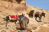 stock photo of jack-ass  - Donkeys amongst the sandstone desert landscape of petra jordan - JPG