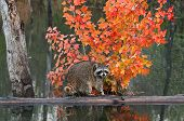 Raccoon (Procyon lotor) Crawls About On Log In Water