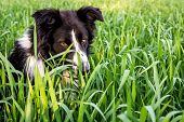 stock photo of collier  - Argentine Countryside farm a Border Collie is playiing in the field.