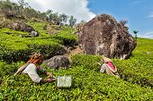 KERALA, INDIA - FEBRUARY 18, 2014: Unidentified Indian women harvest tea leaves at tea plantation at Munnar. Only uppermost leaves are collected and workers collect daily up to 30 kilos of tea leaves