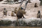Group Of Chacma Baboon