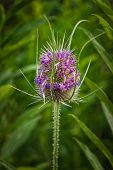 stock photo of cardo  - Blooming thistle close up on a summer meadow - JPG